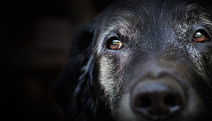 Old labrador retriever.